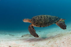 Turtle coming to you underwater Stock Image