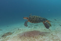 Turtle coming to you underwater Stock Images