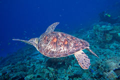 Turtle coming to you underwater Royalty Free Stock Images