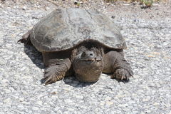 Turtle, Common Snapping  Chelydra serpentina. Snapping turtle Chelydra serpentina at the side a country roadway. They are found throughout most of the southern Stock Image