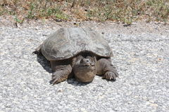 Turtle, Common Snapping  Chelydra serpentina. Snapping turtle Chelydra serpentina at the side a country roadway. They are found throughout most of the southern Stock Photos