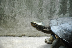Turtle in the Concrete Jungle Stock Image