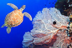 Turtle and coral Stock Photos