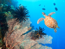 Turtle and coral Royalty Free Stock Image