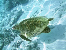 Turtle and coral reef Stock Photography