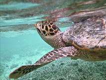 Turtle and coral reef Royalty Free Stock Images