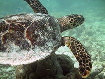 Turtle and coral reef Stock Image