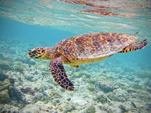 Turtle in coral reef. This Hawksbill Turtle lives in Maldivian coral reef, near Bathala beach Stock Image