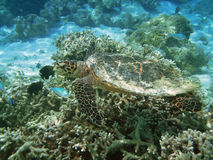 Turtle and coral reef Stock Photo