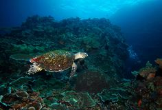 Turtle coral reef and diver underwater Stock Photos