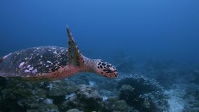 Turtle on a coral reef in Raja Ampat Indonesia 4k. Hawksbill turtle on a shallow coral reef.  South Raja Ampat dive site Cape Kri 4k footage stock footage