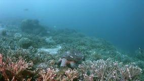 Turtle on a coral reef in Raja Ampat Indonesia 4k. Hawksbill turtle on a shallow coral reef.  South Raja Ampat dive site Sawandorek 4k footage stock video