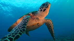 Turtle on a coral reef. Turtle swims in the open water with sun in the background stock footage