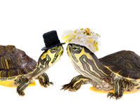 Turtle couple marriage Stock Photography