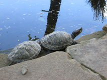 Turtle couple Stock Photo