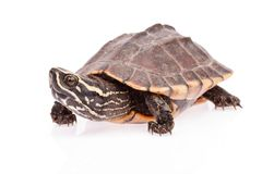 Turtle  crawl on white background Royalty Free Stock Image