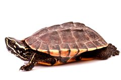 Turtle  crawl on white background Stock Photo