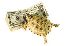 Turtle crawling on dollars. Turtle crawling on a bunch of dollars (isolated on white Royalty Free Stock Image