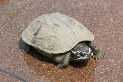 Turtle. Is crawling down in lake Stock Photography