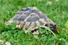 Turtle crawling on a grass Stock Photos