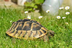 Turtle crawling on a grass Royalty Free Stock Photos