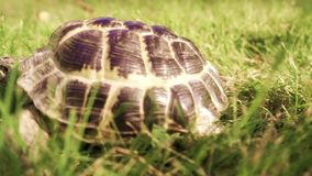 Turtle crawling in green grass stock footage
