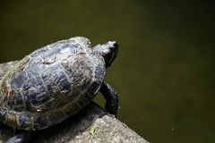 The turtle is crawling near the pond, reptile in carapace. The turtle is crawling at the edge of the pond, reptile in carapace royalty free stock photos