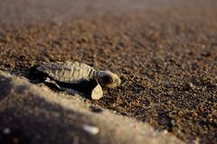 Turtle Crawling Royalty Free Stock Photography