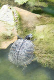 Turtle crawling out of water Stock Images