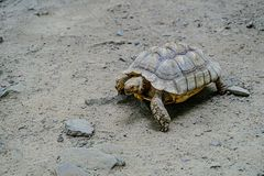 Turtle crawling on the sand with stones. Turtle crawling on the sand with stones stock images