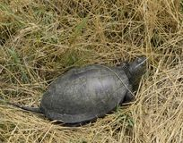 The turtle crawls on dry grass. Ordinary river tortoise of temperate latitudes. The tortoise is an ancient reptile. The turtle crawls on dry grass. Ordinary stock photo