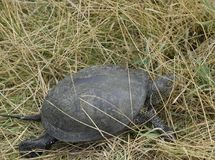The turtle crawls on dry grass. Ordinary river tortoise of temperate latitudes. The tortoise is an ancient reptile. The turtle crawls on dry grass. Ordinary stock photos