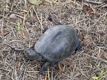 The turtle crawls on dry grass. Ordinary river tortoise of temperate latitudes. The tortoise is an ancient reptile. The turtle crawls on dry grass. Ordinary stock photography