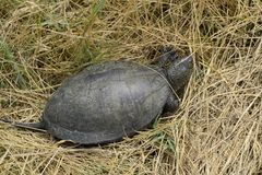 The turtle crawls on dry grass. Ordinary river tortoise of temperate latitudes. The tortoise is an ancient reptile. Royalty Free Stock Photography