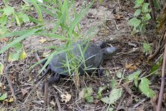 The turtle crawls on dry grass. Ordinary river tortoise of temperate latitudes. The tortoise is an ancient reptile. The turtle crawls on dry grass. Ordinary stock images