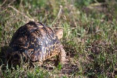 A turtle crawls between the grass in the savannah. One turtle crawls between the grass in the savannah royalty free stock photography