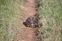 A turtle crawls between the grass in the savannah. One turtle crawls between the grass in the savannah stock photography