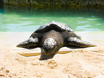 Turtle crawls out of the water to the sand Stock Photo