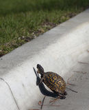 Turtle crosses road royalty free stock photo