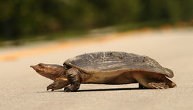 Turtle crossing a road stock image