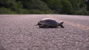 Turtle crossing the road. To forest stock footage