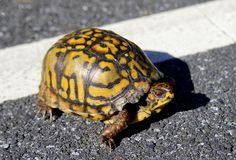 Turtle Crossing the Road. Yellow and black stripped turtle slowly crossing the street. Close-up. Horizontal. Wildlife concept Stock Images
