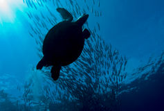 Turtle crossing a shoal of jacks Stock Images