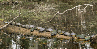 Turtle crowd sunning themselves on a long log. Stock Photo
