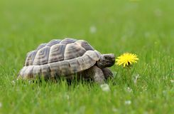 Turtle and dandelion Royalty Free Stock Photo