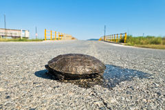 Turtle dangerously crossing the road in front of a small yellow bridge, Sithonia Stock Image