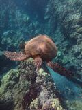 Turtle Days Of Maui. Turtle cruising the coral of Maui Hawaii Royalty Free Stock Image