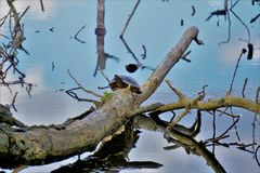 A Turtle on a dead tree royalty free stock image