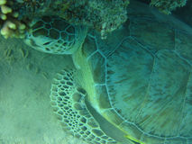 Turtle in deep tropical sea Stock Photography