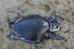 Turtle died in the oil mixed water. A big sea turtle died in the beach side the effect of oil leakage Stock Photo